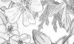 Spiderwort, Peony